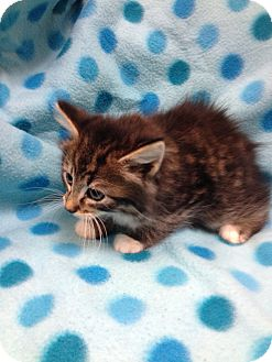 Domestic Longhair Kitten for adoption in South Haven, Michigan - Maxwell