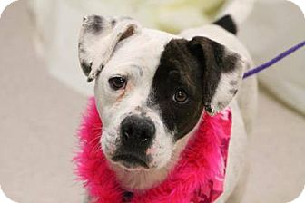 Boxer/Terrier (Unknown Type, Medium) Mix Dog for adoption in Lebanon, Connecticut - LIzzy