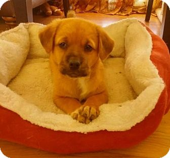 Labrador Retriever Mix Puppy for adoption in Lincoln, Nebraska - PETUNIA