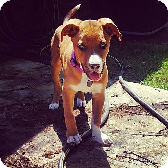 Labrador Retriever/Great Dane Mix Puppy for adoption in Greenfield, Wisconsin - Kona