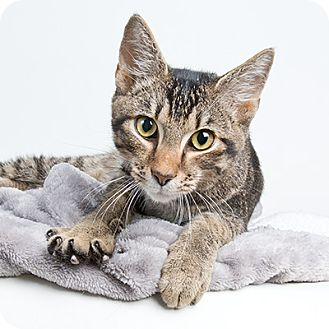 Domestic Shorthair Cat for adoption in Wilmington, Delaware - Victor
