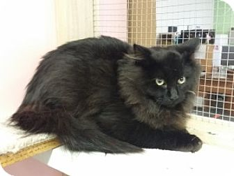 Domestic Longhair Kitten for adoption in Chisholm, Minnesota - Scruffy