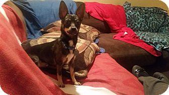 Chihuahua/Dachshund Mix Dog for adoption in Homewood, Alabama - Tessa