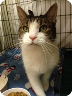 Domestic Shorthair Cat for adoption in Acushnet, Massachusetts - Jess