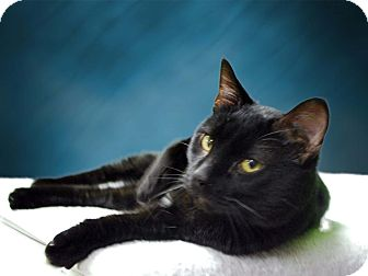 Domestic Shorthair Cat for adoption in New Castle, Pennsylvania - Percy