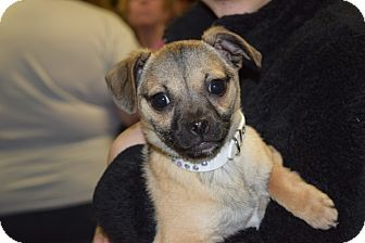 Pug/Chihuahua Mix Puppy for adoption in Sparta, New Jersey - Isabella