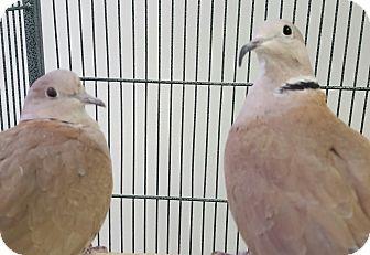 Dove for adoption in Grandview, Missouri - Khaleesit and Khaldrogo