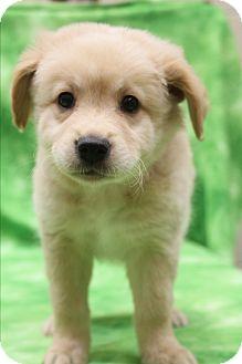 Golden Retriever/Corgi Mix Puppy for adoption in Southington, Connecticut - Dudley