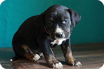Labrador Retriever Mix Puppy for adoption in Waldorf, Maryland - Tampa