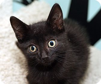Domestic Shorthair Kitten for adoption in Royal Oak, Michigan - DARTH
