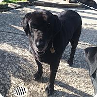 Labrador Retriever Dog for adoption in Flower Mound, Texas - Scout