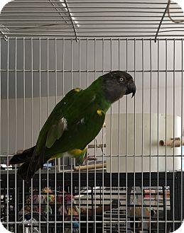 Poicephalus (including Senegal and Meyer's) for adoption in Punta Gorda, Florida - Les
