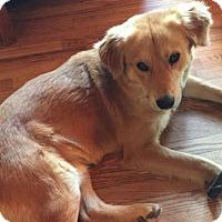 Adopt A Pet :: Fuzzy Bear - Denver, CO