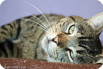 Domestic Shorthair Cat for adoption in Ann Arbor, Michigan - Mr. Butters