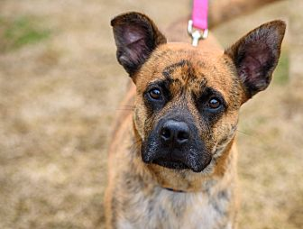 Boxer/Shepherd (Unknown Type) Mix Dog for adoption in Richmond, Virginia - Ed