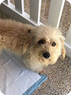 Cockapoo Mix Dog for adoption in Thousand Oaks, California - Blakely