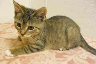 Domestic Shorthair/Domestic Shorthair Mix Cat for adoption in Portage, Wisconsin - Bellapurr