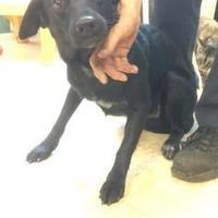 Adopt A Pet :: BULLET - Kiln, MS