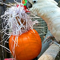 Cockatoo for adoption in Elizabeth, Colorado - Corona Aka Hsppr