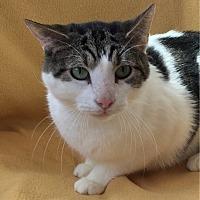 Adopt A Pet :: Kato - Gaithersburg, MD