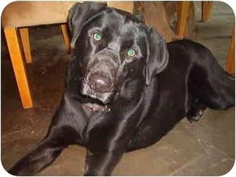 Labrador Retriever Mix Dog for adoption in North Jackson, Ohio - Charlie