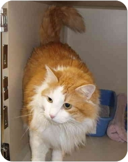 Domestic Mediumhair Cat for adoption in Kellogg, Idaho - Obie