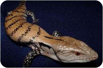 Lizard for adoption in Richmond, British Columbia - Pia