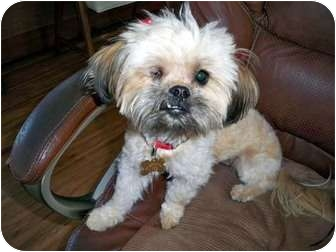 Shih Tzu/Poodle (Toy or Tea Cup) Mix Dog for adoption in Los Angeles, California - GRETA