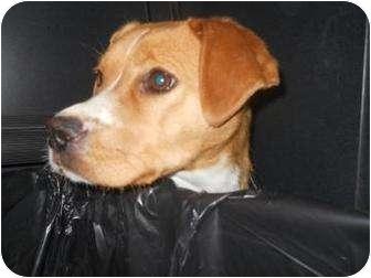 Beagle Mix Dog for adoption in Edwardsville, Illinois - Valerie