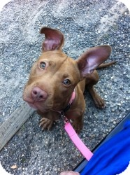 American Pit Bull Terrier Mix Puppy for adoption in Manahawkin, New Jersey - Bella *Adopted