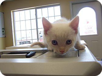 Domestic Mediumhair Kitten for adoption in Larned, Kansas - Nelly