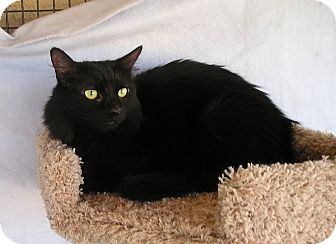 Domestic Mediumhair Kitten for adoption in Palmdale, California - Blossom