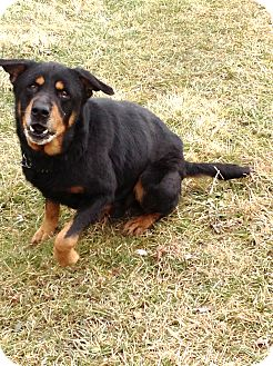 Rottweiler Mix Dog for adoption in Zanesville, Ohio - # 570-12 RESCUED!