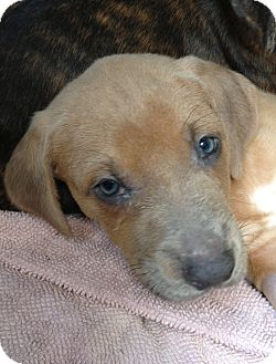 Pit Bull Terrier Mix Puppy for adoption in Gainesville, Florida - Fred