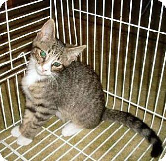 Domestic Shorthair Kitten for adoption in Kirkwood, Delaware - Kiki