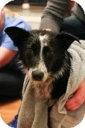 Australian Shepherd Mix Dog for adoption in Minneapolis, Minnesota - Jasmin