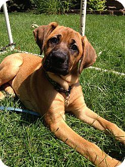 Shepherd (Unknown Type)/Boxer Mix Puppy for adoption in Naperville, Illinois - Liberty