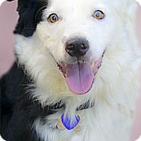 Adopt A Pet :: Shasta looking for a Mommie - Sacramento, CA