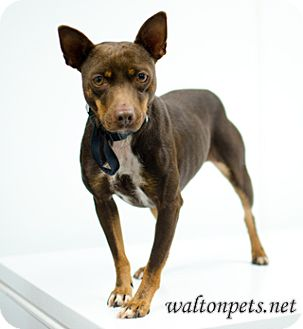 Miniature Pinscher Dog for adoption in Monroe, Georgia - Lucky