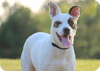 German Shorthaired Pointer/Terrier (Unknown Type, Medium) Mix Dog for adoption in Eastpointe, Michigan - Dottie ON TRIAL