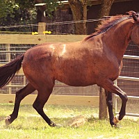 Tennessee Walking Horse Mix for adoption in Cantonment, Florida - Houdo
