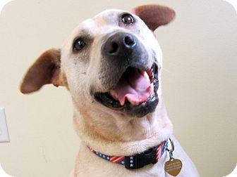 Labrador Retriever/German Shepherd Dog Mix Dog for adoption in Republic, Washington - Goldie