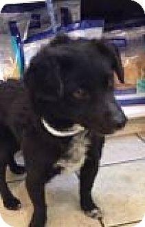 Spaniel (Unknown Type) Mix Dog for adoption in Las Vegas, Nevada - Spanky
