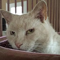 Domestic Shorthair Cat for adoption in Stanhope, New Jersey - Val