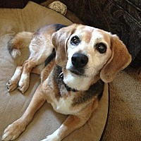 Beagle Dog for adoption in Canterbury, New Hampshire - Poppy