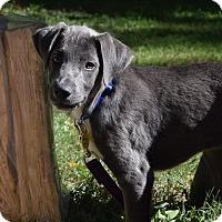 Adopt A Pet :: *Sterling - PENDING - Westport, CT