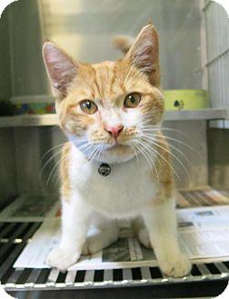 Domestic Shorthair Cat for adoption in Manteca, California - Toby