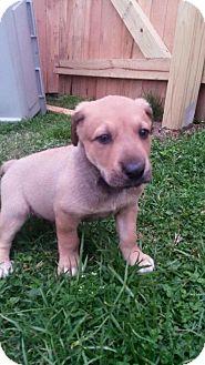 Australian Cattle Dog/Labrador Retriever Mix Puppy for adoption in Newburgh, Indiana - Rick
