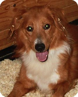 Australian Shepherd/Golden Retriever Mix Dog for adoption in Staunton, Virginia - Charger