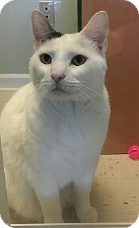 Domestic Shorthair Cat for adoption in Hagerstown, Maryland - Maynard (REDUCED FEE)